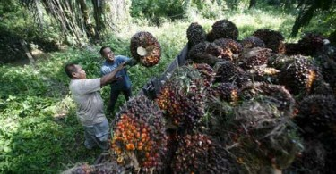 Oil palm is a mainstay of the Felda settlers livelihood.