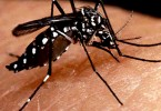 Dengue virus is transmitted by female mosquitoes mainly of the species Aedes aegypti and, to a lesser extent, Ae. albopictus.