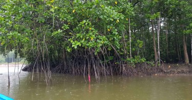 Lush mangrove trees along the banks of the Beluk river.