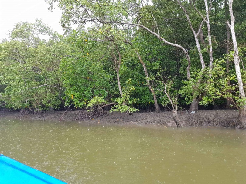 No visible signs of dying mangrove trees along the Beluk river.