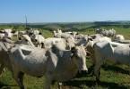 Brazilian cattle