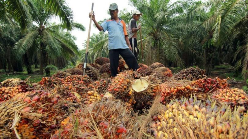 felda palm