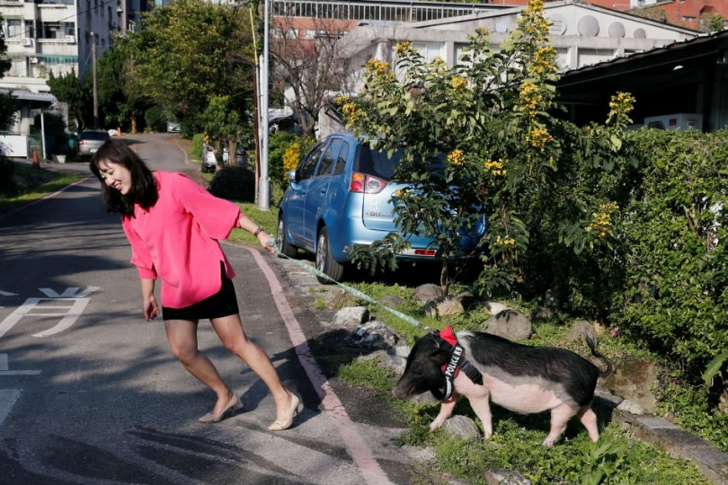 Anita Chen drags her 5-year-old pet pig Mei Mei during a short walk near her house in Taipei, Taiwan,