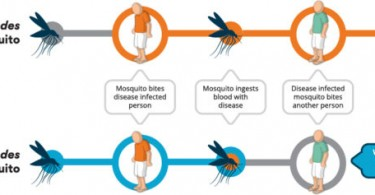 Wolbachia-infected Aedes
